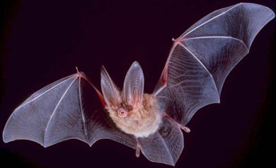 Big Eared Bat
