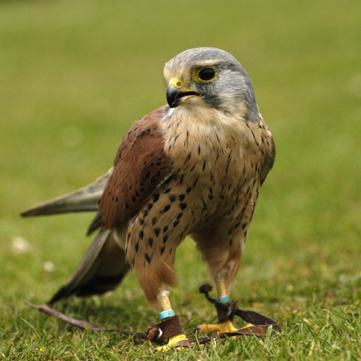 European Kestrel (a small falcon). Photo by quaddie