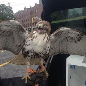 Bellatrix Red-tail Hawk