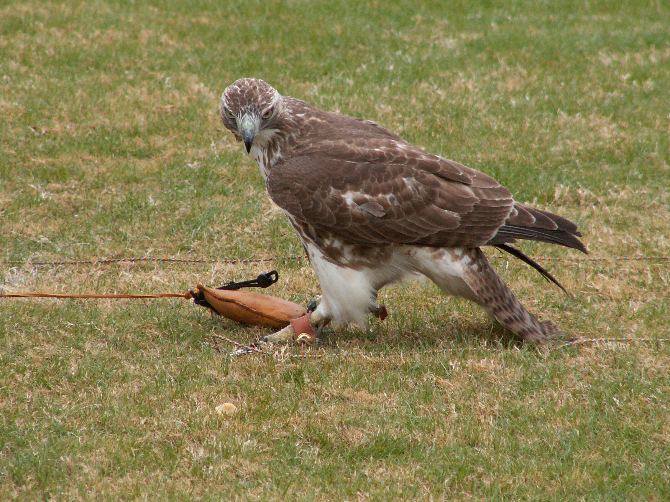 Annual Falconry Event in Dahlonega, GA